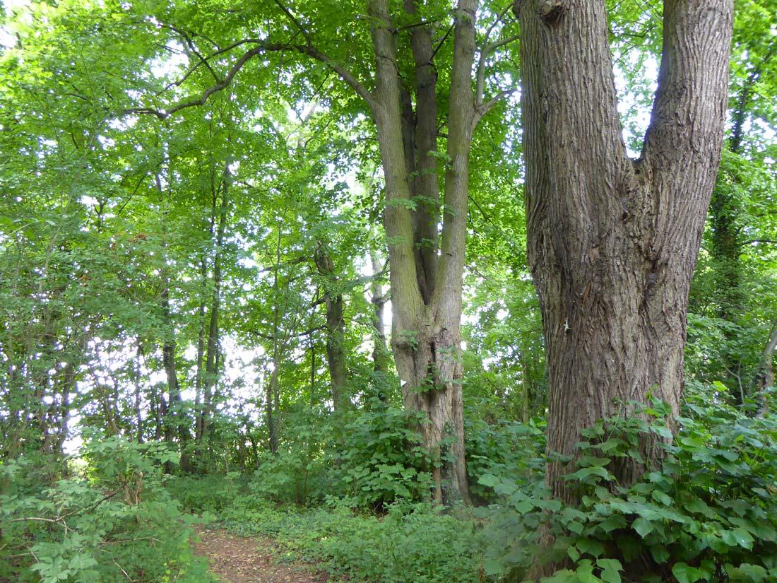 Naturdenkmal Lindenbäume