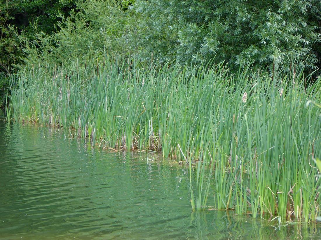 Mit Rohrkolben bewachsener Uferabschnitt