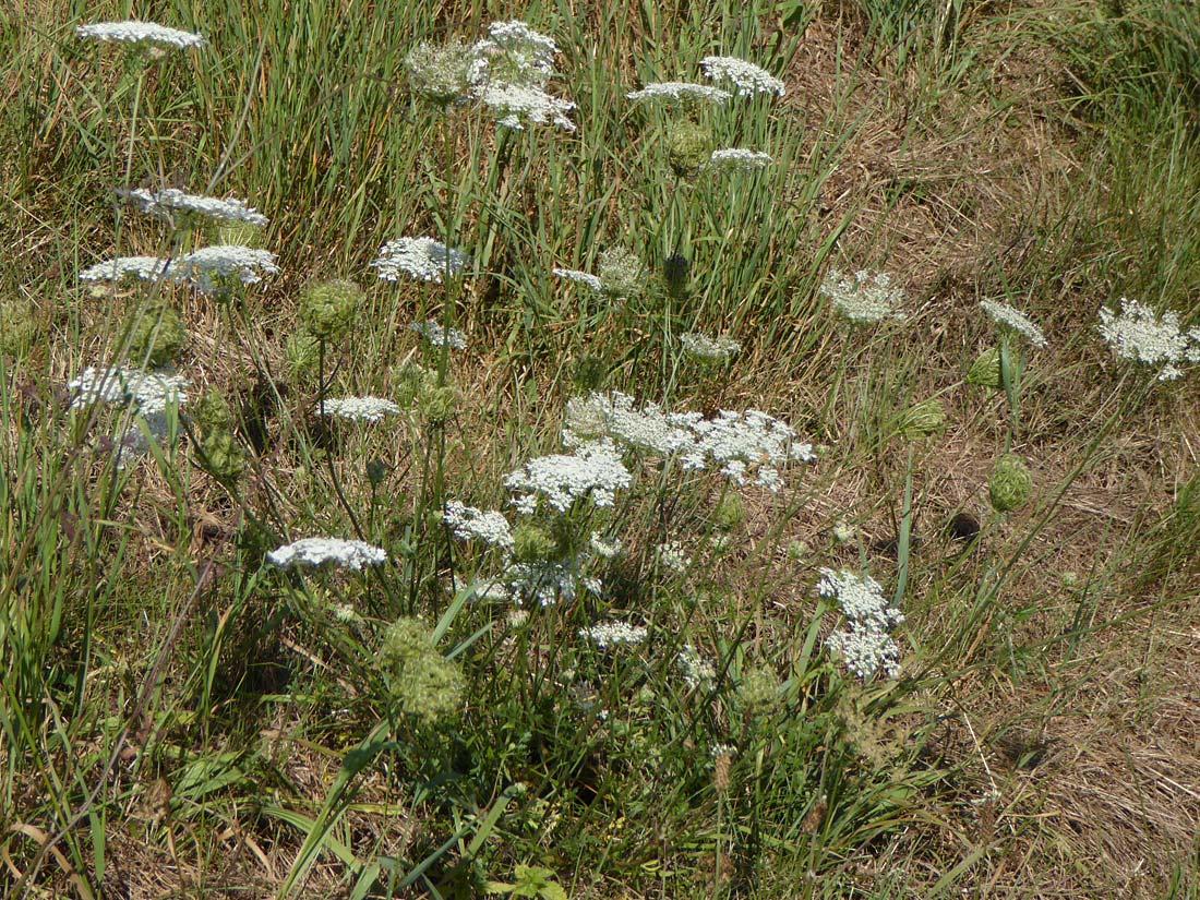 Die wilde Möhre (Daucus carota L.)